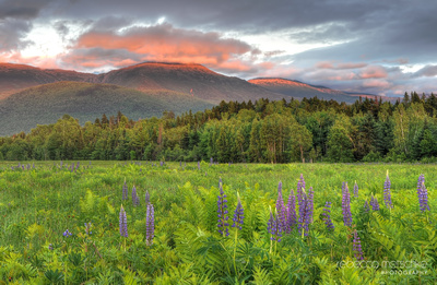Evening Glow Lupines White Mountains
