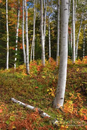 Birches White Mountains New Hampshire